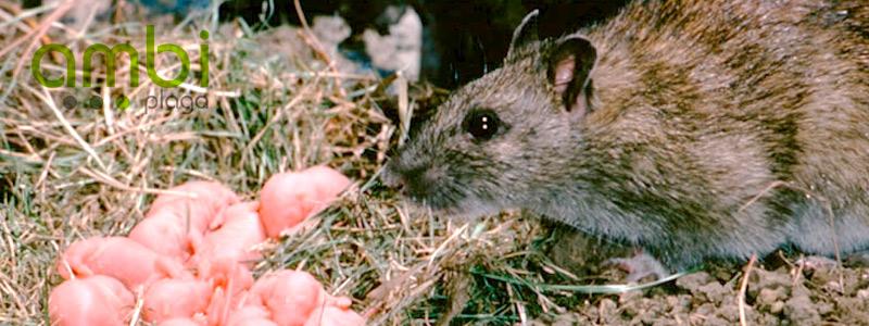 Quer is saber si ten is una plaga de ratas o ratones en casa os damos 4 indicios para que - Ratones en casa ...