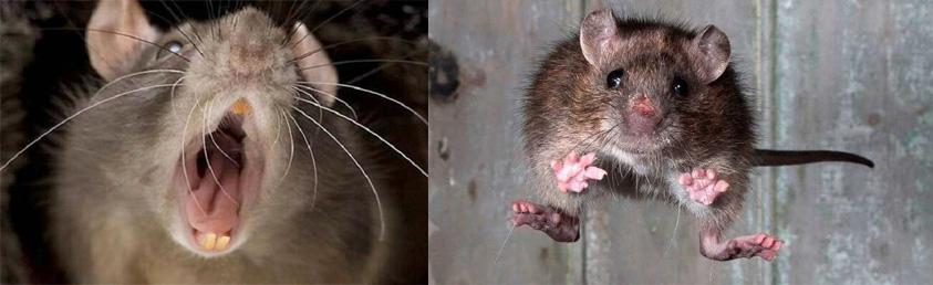 problemas de ratas