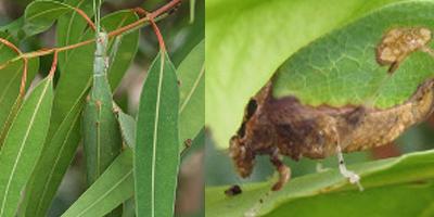 insectos ninja