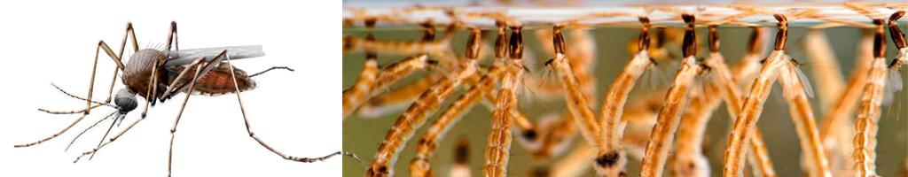 plagas de mosquitos en malaga