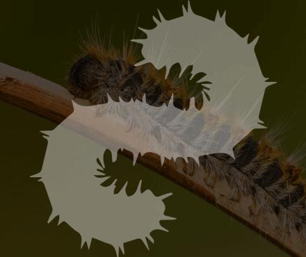 Procesionaria del pino Ambiplaga