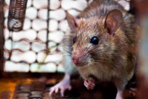 control de plagas en málaga ratas